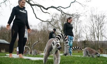 Готель у Великій Британії пропонує клієнтам заняття «лемогою» — це йога з лемурами