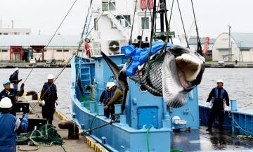 Японія відновлює комерційний китобійний промисел через 31 рік перерви. Двох перших китів уже вбили