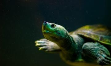 У Техасі через аномальні морози волонтери рятують тисячі морських черепах. Люди забирають тварин додому