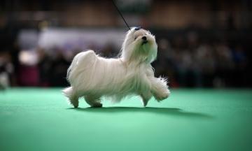У Бірмінгемі пройшла одна з найбільших у світі виставок собак. Ось як це було