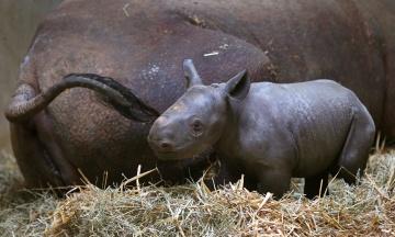 У зоопарку Магдебурга вперше показали дитинча чорного носорога. Малюку менше ніж два тижні