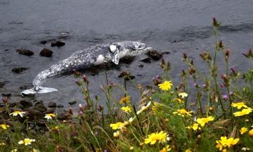Десятий кит викинувся на узбережжя в Каліфорнії з початку весни. Вчені з'ясовують причини