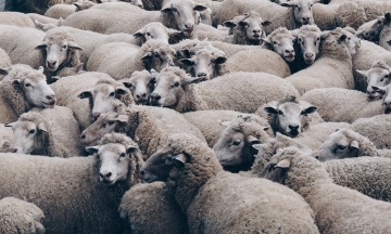 В Черноморском порту погибают 300 овец. Фура с животными застряла на таможне из-за бюрократии