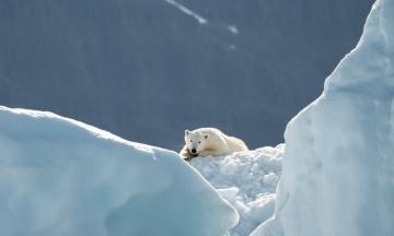 На архіпелазі Нова Земля введено надзвичайний стан через нашестя ведмедів. Тварини нападають на людей