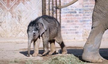 Зоопарк Лейпцига впервые показал двухмесячного слоненка. Детеныша воспитывают тетки-слонихи, мать от него отказалась