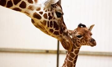 У зоопарку Великої Британії показали дитинча сітчастого жирафа. Малюку 18 днів