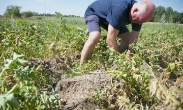 Спека в Європі: Від посухи Бельгія може втратити урожай фірмової картоплі, яку хочуть занести в список ЮНЕСКО