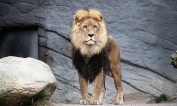 В Индии коронавирусом заразились восемь львов в зоопарке