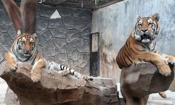 В США от коронавируса начали вакцинировать животных в зоопарках