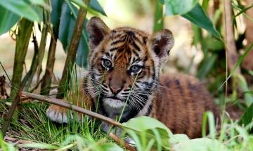 У зоопарку Сіднея публіці вперше показали дитинчат «червонокнижного» суматранського тигра