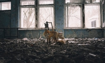 Лисиця з Чорнобиля підкорила журі фотоконкурсу в Лондоні