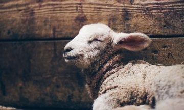 Зоозащитники хотят выкупить «черноморских» овец и готовят иск к их хозяйке