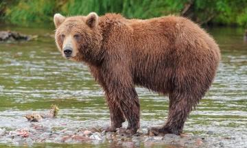 В жилом районе японского Саппоро медведь ранил четверых людей. Он также успел напасть на воинскую часть