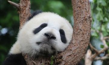 В японском зоопарке родился детеныш уникальной панды. Фотография