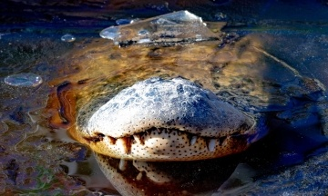 В США из-за морозов аллигаторы вмерзли в лед. Такое уже случалось год назад