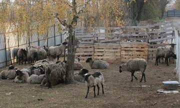 Овцы из Черноморского порта: животных повезли на «утилизацию», зоозащитники надеются спасти хотя бы часть