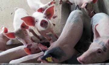 На Буковині спалах африканської чуми свиней. На забій відправлять 21 тисячу тварин