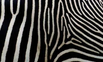 Учені з'ясували, навіщо зебрами потрібні смужки. Вони захищають тварин від укусів комах