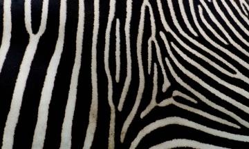 Ученые выяснили, зачем зебрам нужны полоски. Они защищают от укусов насекомых