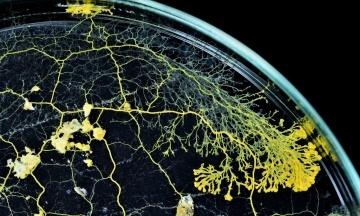 Парижский зоопарк представил новый организм под названием «слизь». Он не имеет мозга, но способен обучаться
