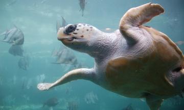 Повна фемінізація. Клімат може вбити майже всіх самців черепах у Кабо-Верде