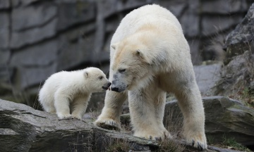 Берлінський зоопарк вперше показав дитинча білого полярного ведмедя. Вона народилася три місяці тому і поки не має імені