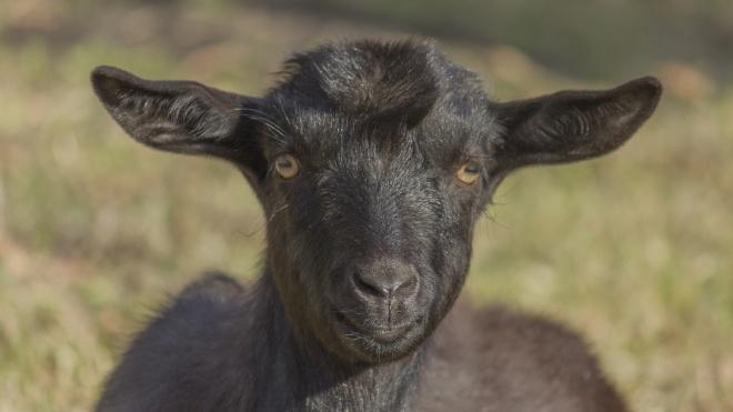 У Танзанії коронавірус «виявили» у кози та папайї, а президент закликає лікуватися травами
