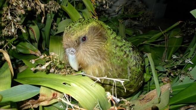 74 птенца и двойные гнездования. Ученые заявили о рекордном размножении редких попугаев какапо