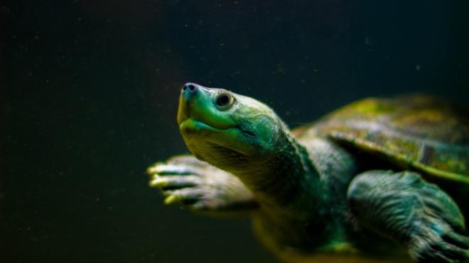 На Галапагоських островах украли 123 дитинчат гігантської черепахи