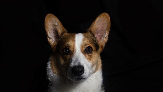 Помер останній коргі королеви Великої Британії. Собаки цієї породи були в Єлизавети 85 років