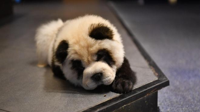 В Китае владелец кафе для привлечения посетителей покрасил своих собак под панд