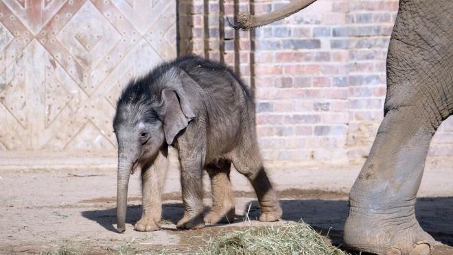 Зоопарк Лейпцига вперше показав двомісячне слоненя. Дитинча виховують тітки-слонихи, мати від нього відмовилася