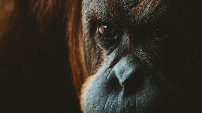 Виробника печива Oreo і шоколаду Milka звинуватили в загибелі орангутангів