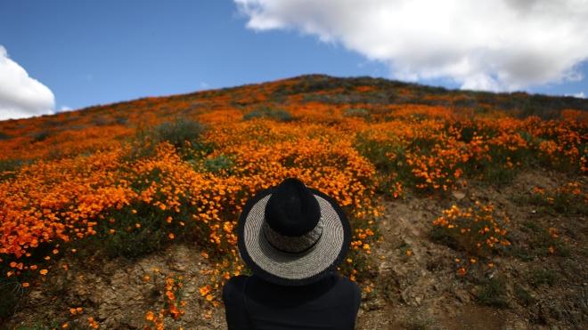 В Калифорнии из-за сильных дождей зацвели склоны и поля. Посмотрите, как это выглядит