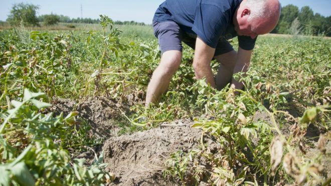 Жара в Европе: От засухи Бельгия может потерять урожай фирменной картошки, которую хотят занести в список ЮНЕСКО