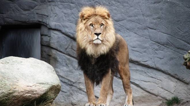 В Індії коронавірусом заразилися вісім левів у зоопарку