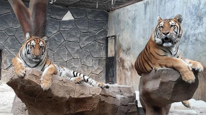 В індонезійському зоопарку одних тварин згодують іншим. Через коронакризу не вистачає грошей на повноцінний раціон