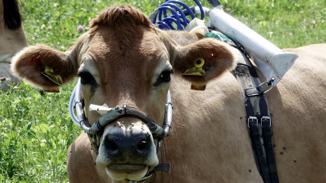 В Германии ученые, чтобы снизить количество метана, привязали к коровам специальные приборы