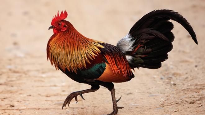 Учені дослідили геном домашніх курей і встановили їхнє походження. Уперше ці птахи з'явилися в Азії