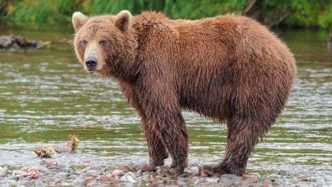 В Швейцарии осудили за взятку бывшего прокурора. Россияне «подарили» ему медвежью охоту на Камчатке