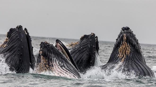 Японія відновить полювання на китів у своїх водах. Міжнародне співтовариство обурене