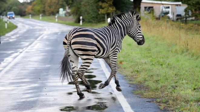 У Німеччині з цирку втекли дві зебри і влаштували колапс на автобані. Одну з них застрелила поліція