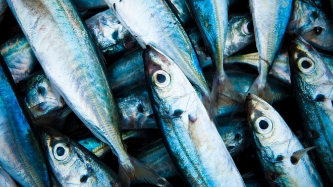 Норвежская компания собирается добывать топливо для круизных лайнеров из мертвой рыбы