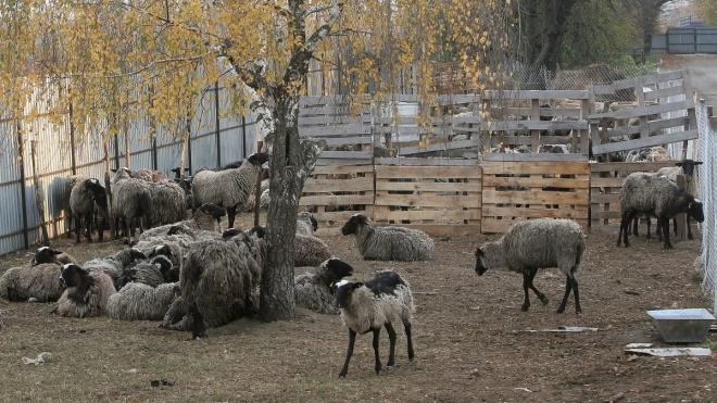 Вівці з Чорноморського порту: тварин повезли на «утилізацію», зоозахисники сподіваються врятувати хоча б частину
