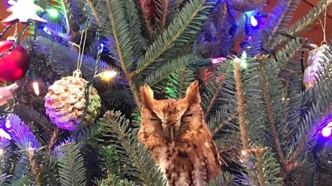 В США семья нашла живую сову на новогодней елке дома. Она сидела там неделю и не хотела возвращаться в лес