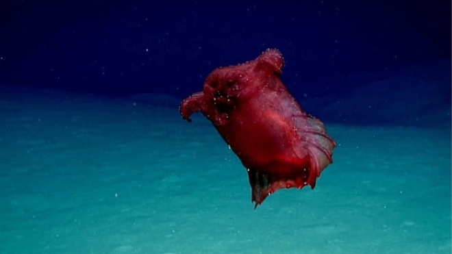 «Безголовый куриный монстр». В Тихом океане впервые сняли на камеру глубоководный огурец
