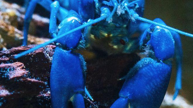 Ресторан в штате Мэн усыпляет омаров марихуаной перед тем, как их готовить