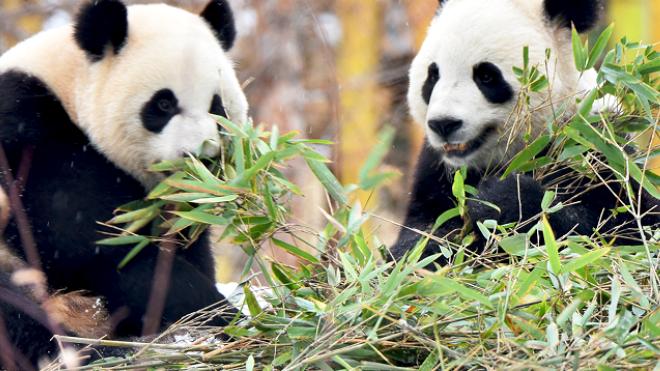Канадский зоопарк вернет панд в Китай, потому что из-за пандемии у них заканчивается бамбук