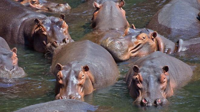 Влада Замбії планує знищити 2 тисячі бегемотів. Зоозахисники вважають, що після цього їх стане більше