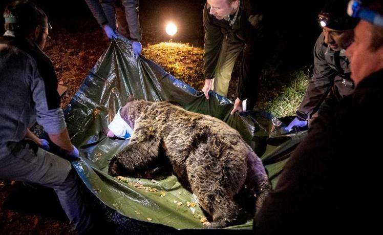 Медведица Сорита, которой укололи снотворное для транспортировки в Пиренеи.